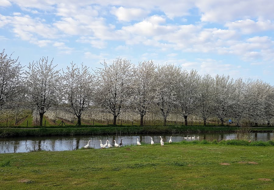 Bloeiende kersenbomen